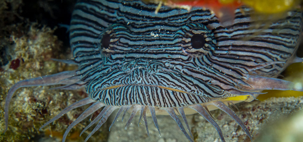 splendid toad fish cozumel1